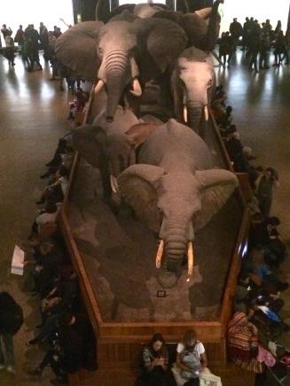 African elephants- American History Museum